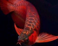 红龙鱼吃什么长大?