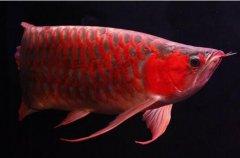 养一年龙鱼为什么不发色?养