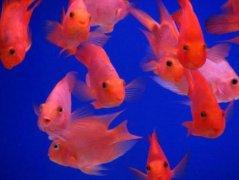 鹦鹉鱼怎么养最红?