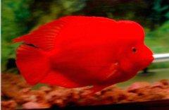 家里血鹦鹉鱼该怎么养好?