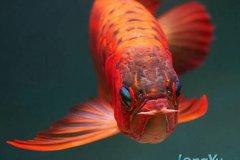 银龙鱼与白金龙鱼怎么分辨哪