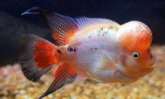 罗汉鱼价格种类和饲养方法