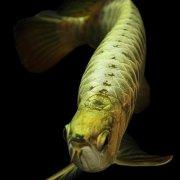 小金龙鱼怎么选?