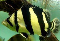 家里泰国虎鱼怎么养注意什么