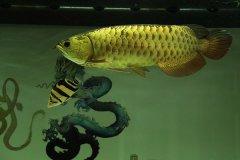 金龙鱼沉底不动