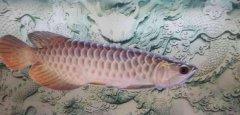 金龙鱼换水死了或不吃食的原因?