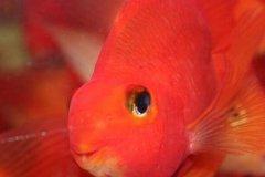 红鹦鹉眼睛鼓出来怎么治疗?