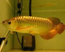 金龙鱼需要爆氧吗?