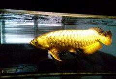 金龙鱼价格多少钱一条比较合