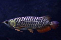 宝石金龙鱼怎么养注意事项有哪些?