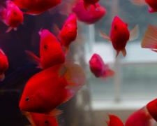 红鹦鹉鱼大概价格多少钱?