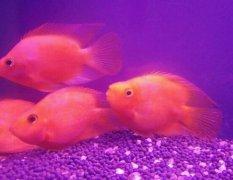 家养鹦鹉鱼吃什么变红快?