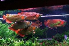 金龙鱼和什么鱼混养好?