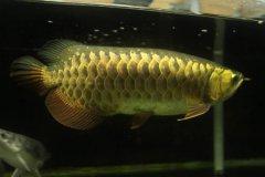 金龙鱼是淡水鱼吗?