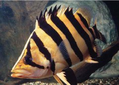 印尼虎鱼寿命多长?