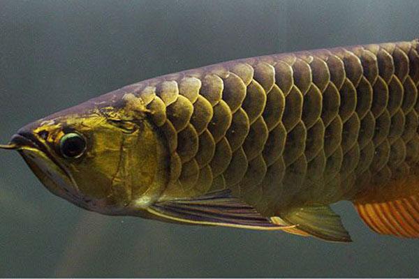 金龙鱼可以和什么鱼混养?