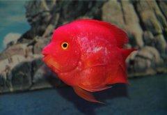 红鹦鹉鱼变白了怎么办?