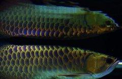 金龙鱼品种分类详解