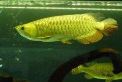 金龙鱼寿命有多长?