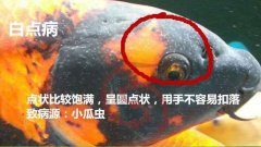 锦鲤鱼身上有白霜怎么治疗?