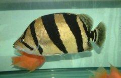 泰国虎鱼吃什么呢?