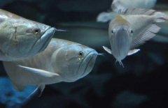 银龙鱼是淡水鱼吗?