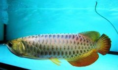 宝石金龙鱼会发色吗?