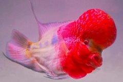 罗汉鱼起头方法之水刺激法