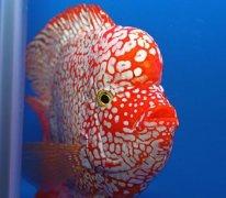 红罗汉鱼多少钱一条各地