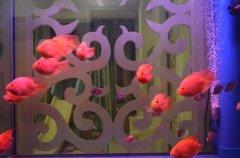 鹦鹉鱼分公母如何挑选?