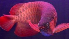 中国最贵红龙鱼7000万