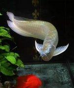 银龙鱼为什么不吃食解决对策
