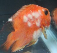 鹦鹉鱼水霉病症状是什么如何