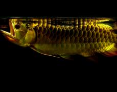 龙鱼论坛谈金龙鱼眼珠凸出怎