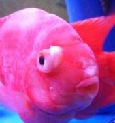 观赏鱼红鹦鹉眼睛凸起怎么冶