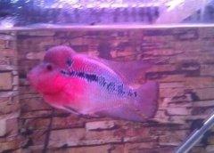 观赏鱼中罗汉长得快吗吃