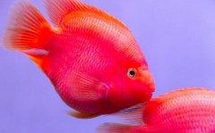 鹦鹉鱼常见病:鹦鹉鱼变白