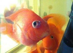 红鹦鹉鱼眼睛凸出来怎么治疗?