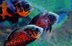 地图鱼一般养几条好?
