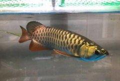 金龙鱼发色过程和阶段图解