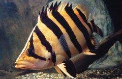 泰国虎鱼吃什么喂养注意哪些