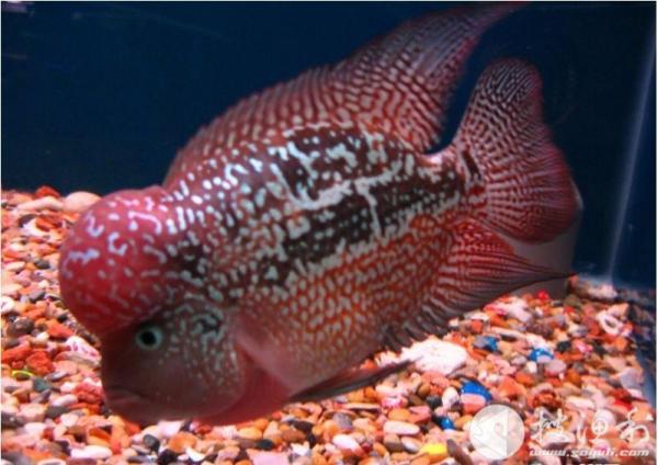 罗汉鱼如何繁殖有哪些技