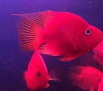红元宝鹦鹉鱼能长多大?