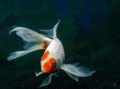 锦鲤鱼养殖方法和条件有