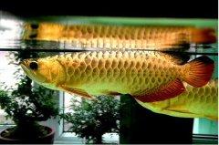 金龙鱼喂什么增加金质?