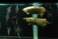 金龙鱼好养吗需要注意什么?