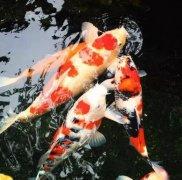锦鲤鱼怎么养比较好?