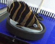 泰国虎鱼蒙眼怎么治疗好的快?