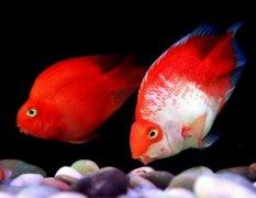 鹦鹉鱼变白怎么治疗恢复?