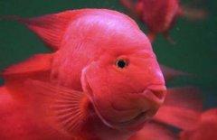 红元宝鹦鹉鱼好养吗?